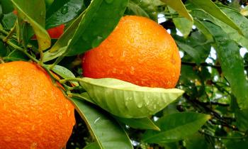 Апельсиновый отвар