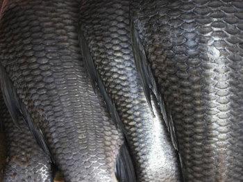 Лечение рыбной чешуей