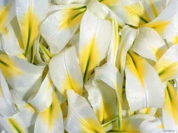 Лепестки белой лилии