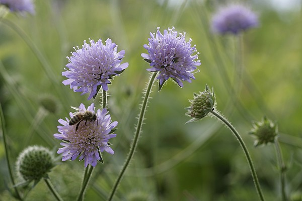 Фото цветок короставник