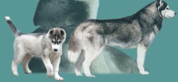 Пояс из собачьей шерсти