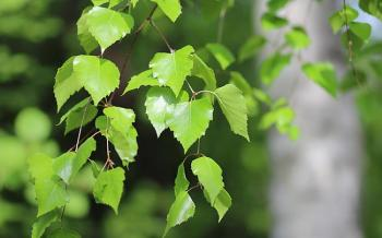 Масляный настой березовых листьев