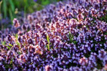 Чабрец – эффективное растение для лечения слабой потенции в любом возрасте