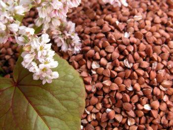 Цветочная часть гречихи хорошо помогает в профилактике атеросклеротических бляшек